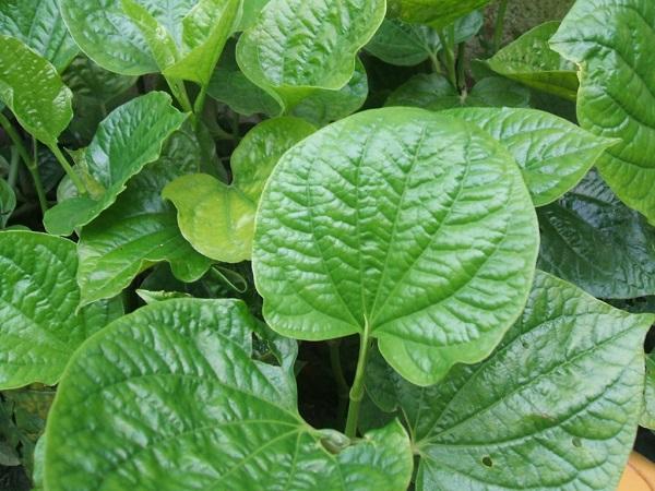 nước súc miệng chữa viêm lợi từ lá lốt - Dr.Muối